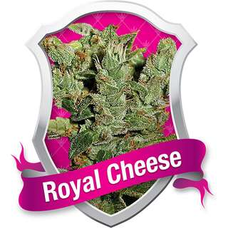 Royal Cheese Fast - Royal Queen Seeds