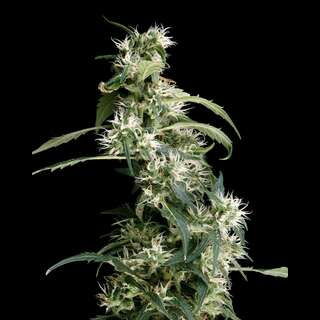 Arjans Ultra Haze #2 Feminised Seeds