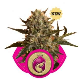 Royal Madre Feminised Seeds