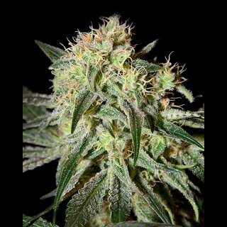 Damn Sour Feminised Seeds