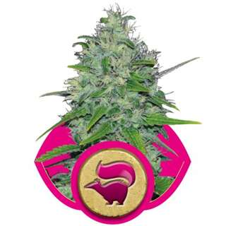 Skunk XL Feminised Seeds