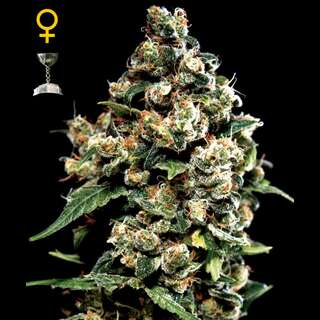 Jack Herer Feminised Seeds 3 Seeds