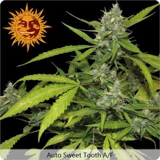 Sweet Tooth Auto - Barneys Farm