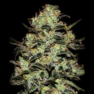 Moby Dick Feminised Seeds