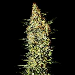 Nevilles Haze Feminised Seeds