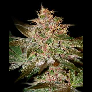 Pure Kush - Greenhouse Seeds