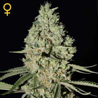 Super Critical Feminised Seeds 3 Seeds