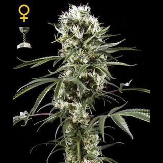 Super Lemon Haze Feminised Seeds 3 Seeds
