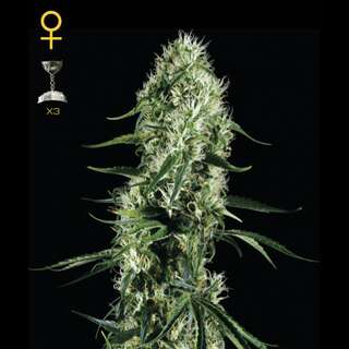 Super Silver Haze Feminised Seeds 5 Seeds