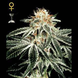 White Widow Greenhouse Seeds Feminisierte Samen 5 Seeds