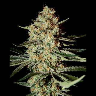 Himalayan Gold Feminised Seeds
