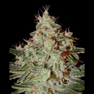 Lemon Skunk - Greenhouse Seeds