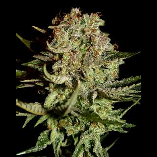 Super Bud - Greenhouse Seeds