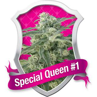Special Queen #1 Feminised Seeds 5 Seeds
