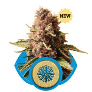 Euphoria Feminised Seeds
