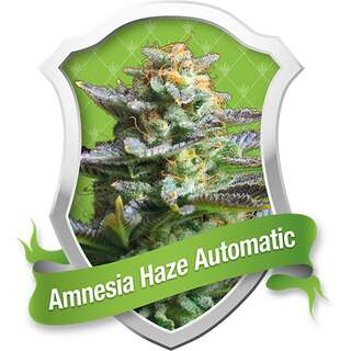 Amnesia Haze Automatic Feminised Seeds