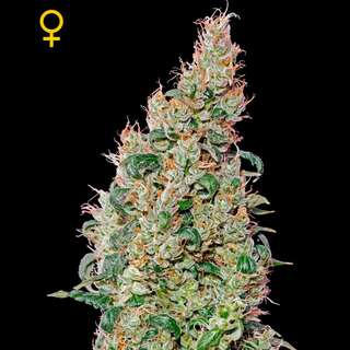Green-O-Matic Feminised Seeds 3 Seeds