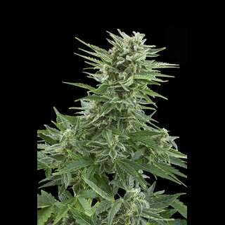 Easy Bud Automatic Feminised Seeds