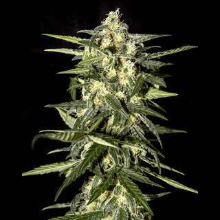 Jack Herer Auto - Greenhouse Seeds