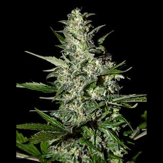 Super Critical Auto-flowering Feminised Seeds