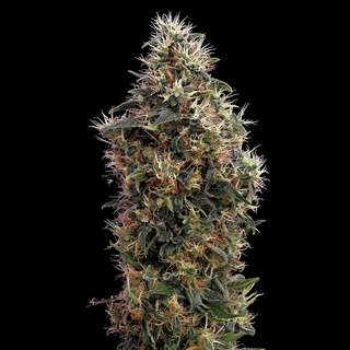 Sweet Mango Automatic Feminised Seeds