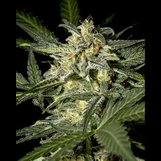 White Widow AUTO Feminised Seeds