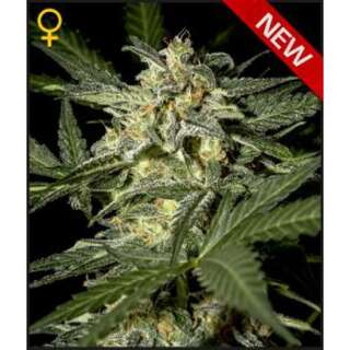 White Widow AUTO Feminised Seeds 5 Seeds