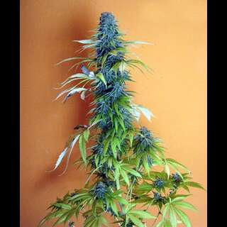 Candy Cream Feminisierte Samen 5 Seeds