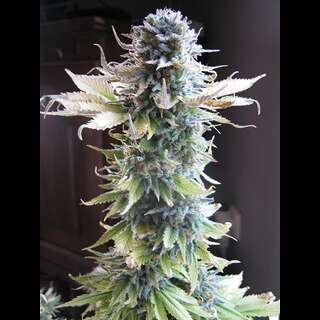 Early Skunk Feminisierte Samen 3 Seeds