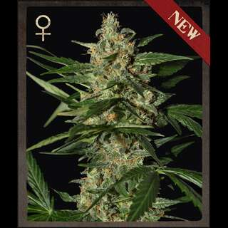Damnesia AUTO Feminised Seeds