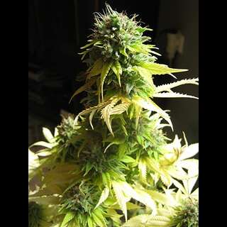 Somango Feminised Seeds