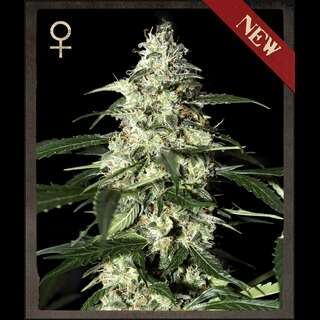 Skunk AUTO Feminised Seeds - 3 Seeds