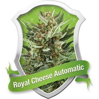 Royal Cheese Auto - Royal Queen Seeds