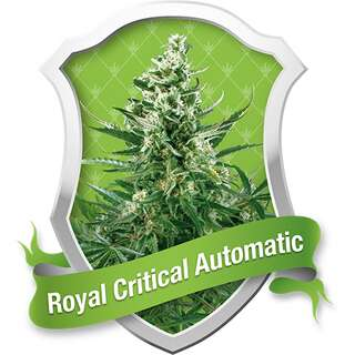 Royal Critical Auto - Royal Queen Seeds