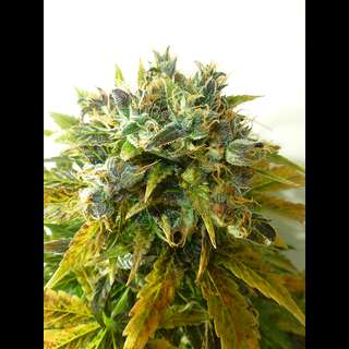 Auto ONYX Feminised Seeds