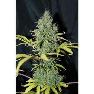 Auto Sweet Tooth Feminised Seeds