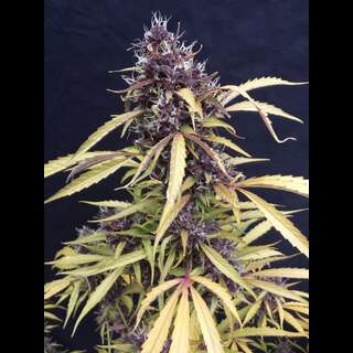 Easy Ryder Auto - Seedsman