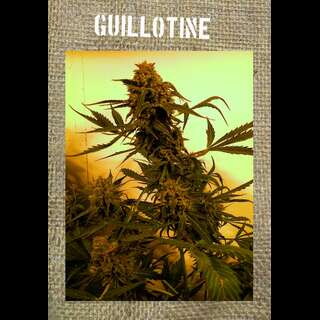 Guillotine Auto - French Touch Seeds