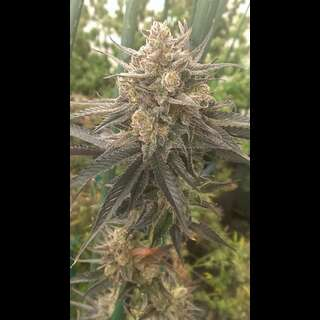 HarleSin Feminised Seeds - 7