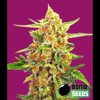 Cherry Bomb Feminised Seeds 5 Seeds