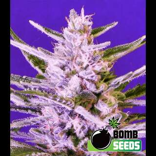Ice Bomb Feminised Seeds