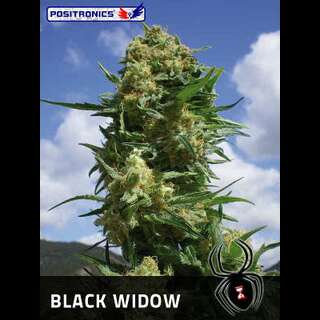 Black Widow Feminised Seeds