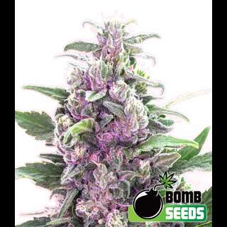 THC Bomb AUTO Feminised Seeds