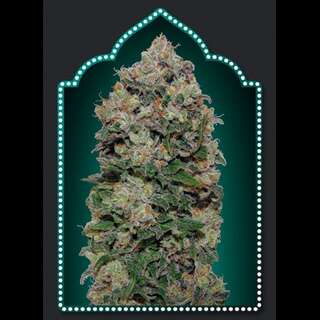 Northern Lights Feminised Seeds - 5 Seeds