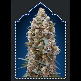 00 Kush Feminised Seeds - 5 Seeds