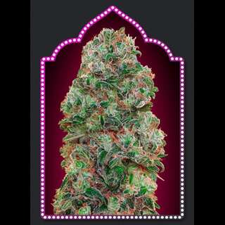 Bubble Gum Feminised Seeds - 5 Seeds
