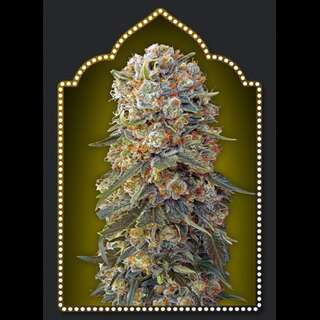 Sweet Critical Feminised Seeds - 5 Seeds