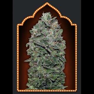 Sweet Soma Feminised Seeds - 5 Seeds