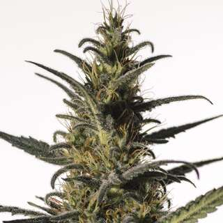 Candida from Medical Marijuana Genetics