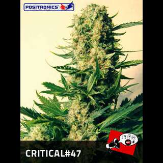 Critical # 47 Feminised Seeds